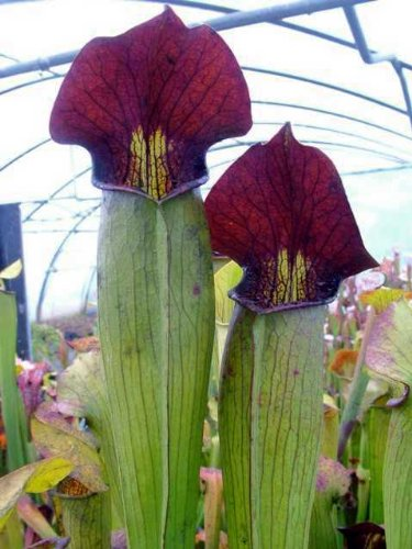Sarracenia alata Purple Throat Giant - pitcher plant - 10 seeds
