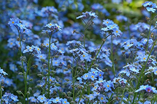 All Blues Wildflower Seeds Mix – Large 1 Ounce Packet – Over 7,000 Annual and Perennial Flower Seeds