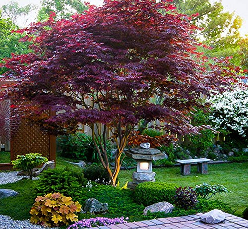 Japanese Maple Acer palmatum Tree - 3.5'' potted 1' - 2' tall Healthy Plant - 2 pack by Growers Solution by Growers Solution (Image #3)