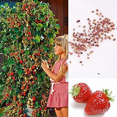 Semillas de fresa escalada Inmersión de fresa Fruta aromática ...