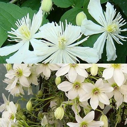 2 Clematis Kletterpflanzen: Clematis Early Sensation (immergrün ...