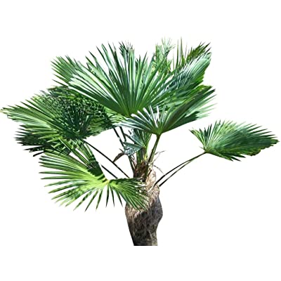 Chinese Windmill Palm 10 Seeds - Trachycarpus by AchmadAnam : Palm Plants : Garden & Outdoor