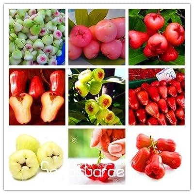 Big Sale!50 PCS/bag rose apple seeds rare china fruit seeds for home garden planting easy grow,#0VGQEP