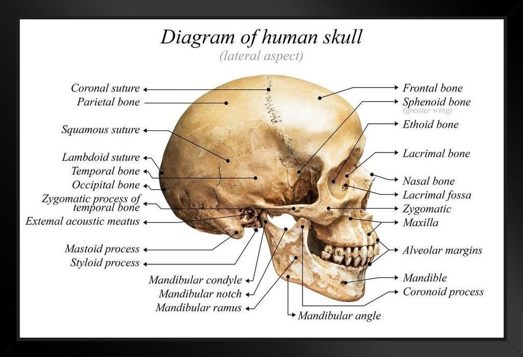 Amazon Human Skull Diagram Anatomy Educational Chart Framed