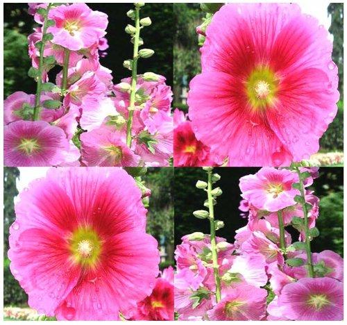 50 Pink Alcea Rosea Hollyhock Wildflower Seeds ~ Hummingbirds & Butterflies