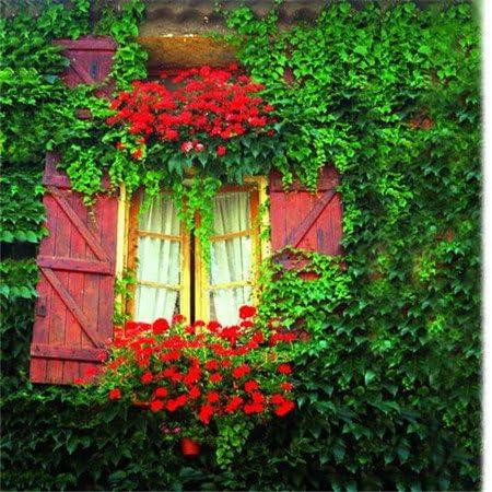 Hedera helix Bonsai Semillas 100 piezas multicolores semillas de flor novela de Plantas para jardín de DIY: Amazon.es: Jardín