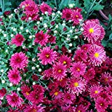 100Pcs Ground-cover Chrysanthemum Seeds Perennial Garden Yard Planting Flower Seeds