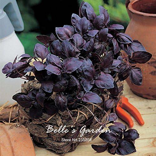 Basilico viola semi basilico SEMI