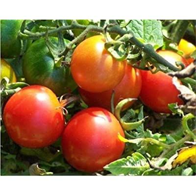Tommy Toe Tomato Seeds (100 Seeds) : Garden & Outdoor