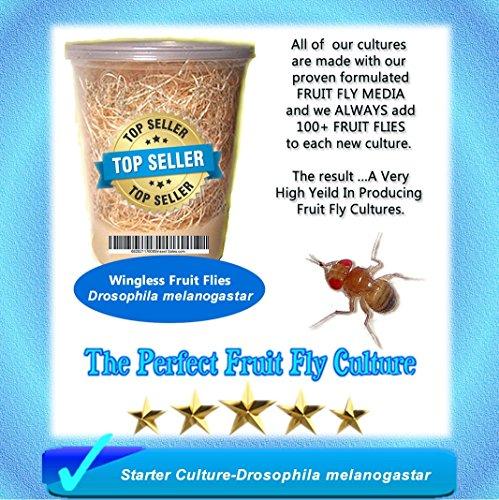 Fruit Fy Starter Culture (Wingless-Drosophila Melanogaster) Plus FREE Fruit Fly Kit