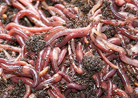 Red Wiggler Redworm Colony Starter Kit & Red Worm Guide - Red Worms For Compost