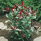 Evergreen Photinia Red Robin Plants (Pack of 6)