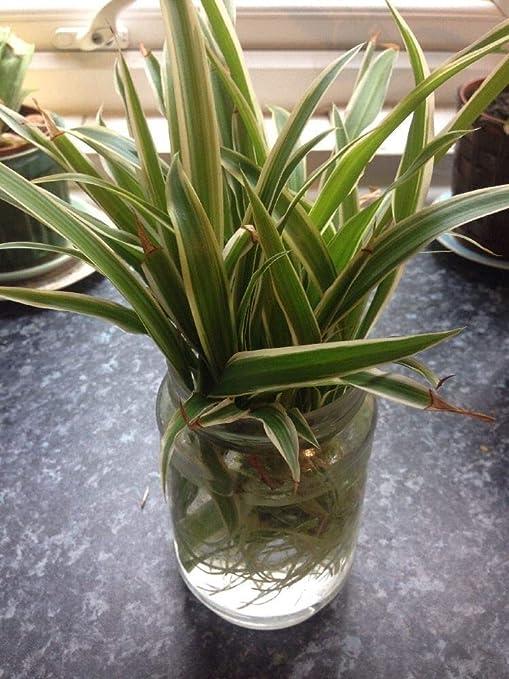 ScoutSeed X2 Bebã© Araã±a Chlorophytum Comosum Plantas enraizadas ...