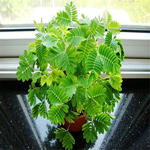 Sheath Foliage - Grass Seeds 20Pcs/Lot Bashful Mimosa Pudica Linn Foliage Mimosa Pudica Sensitive Bonsai Plant Home Garden