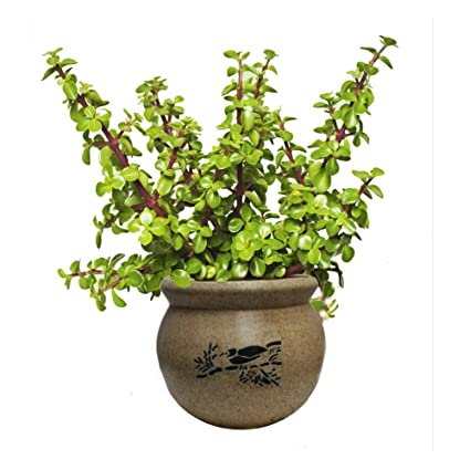 """The Bonsai Plants Jade Plant """"Good Luck Plant"""" with Beautiful Pot"""