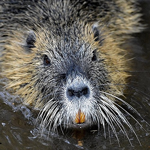 Nutria Fur - Home Comforts LAMINATED POSTER Eyes Rat Coypu Rodent Tooth Water Fur Nutria Poster 24x16 Adhesive Decal