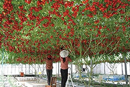 100 Italiano tomate de árbol * HERENCIA RARA!! * Semillas de vida semillas de tomate GIGANTE árbol frutal: Amazon.es: Jardín