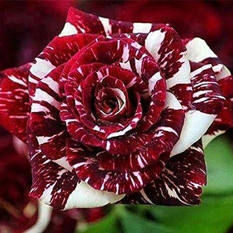 iDealhere Dragon Rosa Flor Jardín Plantas Semillas 20 Semillas (Rojo)