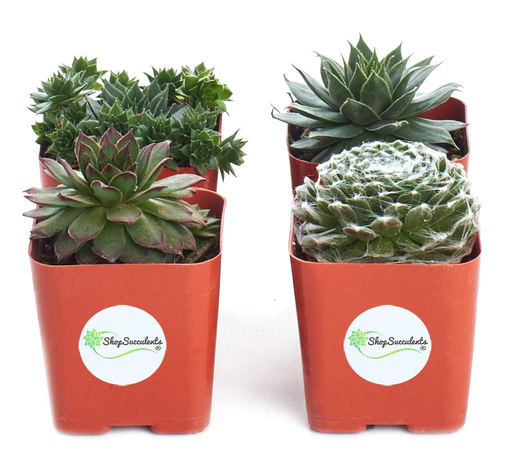 Shop Succulents | Sempervivum Hen and Chick, Hand Selected Variety Pack of Live Succulents | | Collection of 4 in 2'' pots, 4, Green
