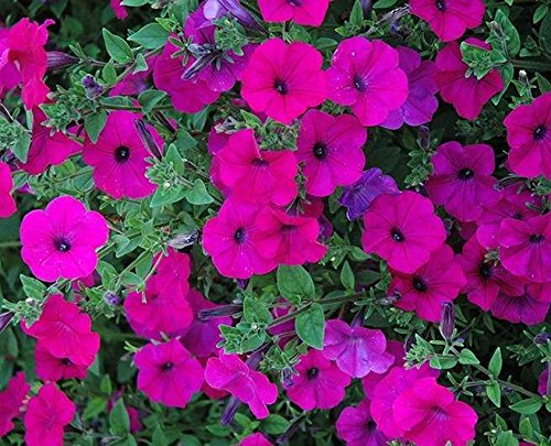 ~ Tidal Wave Purple * Trailing Petunia * 20 Pelleted Seeds ()