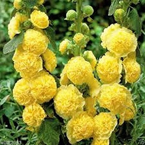 50 Hollyhock seeds - GOLDEN YELLOW Hollyhock, Large, fully double yellow flowers