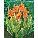 Canna Lily Seeds ★ PRETORIA ★ Variegated Foliage ★ Exotic Blooms ★ 4 Seeds