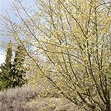Kornelkirsche Cornus mas, Großstrauch als Vogelschutz und Bienenweide im 3l Topf