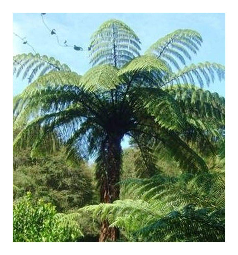 Cyathea medullaris - black tree fern - 10 seeds Exotic Plants