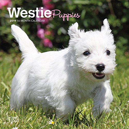 West Highland White Terrier Puppies 2019 7 x 7 Inch Monthly Mini Wall Calendar, Animals Dog Breeds Terrier Puppies