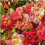 Package of 110 Seeds, Cherry Rose Nasturtium (Tropaeolum minus) Non-GMO Seeds by Seed Needs