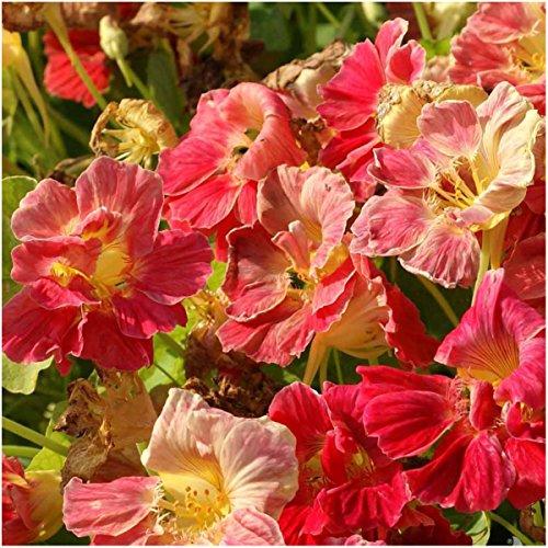 Nasturtium Cherry Rose - 1