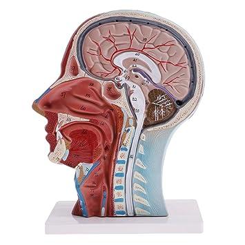 Baoblaze Anatomisches Menschliches Modell Kopf Schädel Gehirn für ...