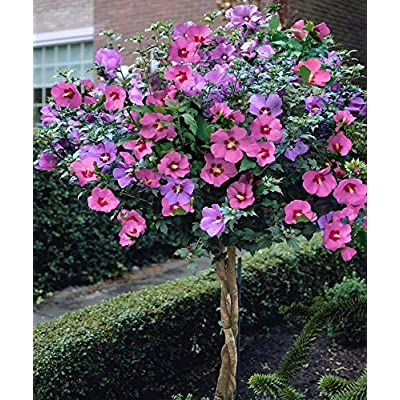 15+ Pink Rose of Sharon Hibiscus / Perennial Flower Seeds : Garden & Outdoor