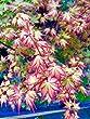 Ryumon Nishiki Japanese Maple 3 - Year Live Plant