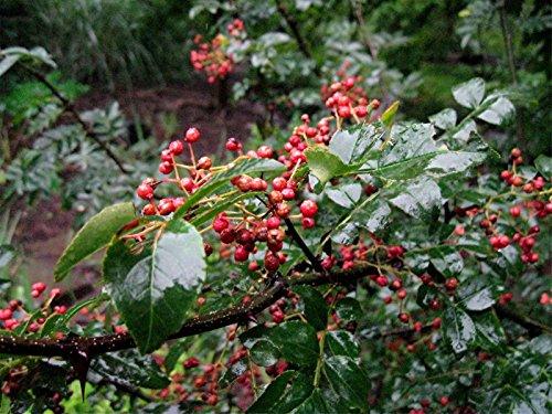 zanthoxylum simulans 'Szechuan Pepper'- Pepper Tree seeds-10 Seeds