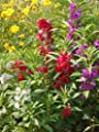 200+ Seeds, Mixed Colors, DOUBLE CAMELLIA IMPATIENS (Balsam Impatiens Balsamina) by Seeds and Things