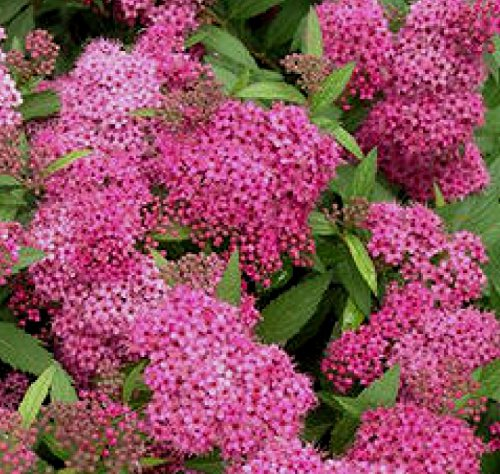 Anthony Waterer Spirea (5 shrubs Anthony Waterer Spirea Bush 1 foot tall bareroot branched)