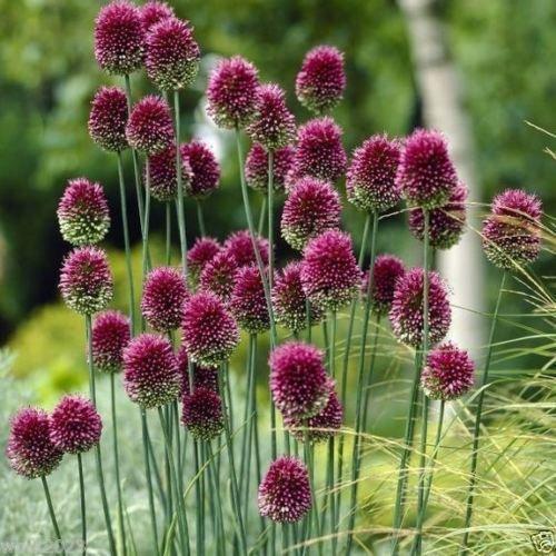 10 ALLIUM Bulbs~Purple Drumstick~ Ornamental Onion - FALL (Planting Allium Bulbs)