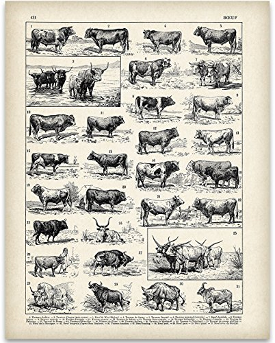 Early 1900s French Cattle Illustration Art Print - 11x14 Unframed Art Print - Perfect Country Home Decor by Personalized Signs by Lone Star Art