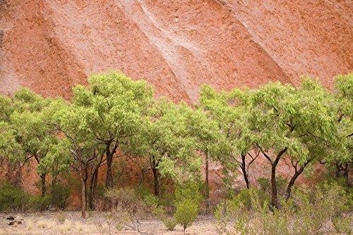 Posterazzi Eucalyptus Trees at Ayer's Rock in Uluru-Kata Tjuta National Park Northern Territory Australia Poster Print, (18 x 12)