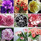 1300pcs 16 Colors Available Carnation Seeds Perennial Flowers Potted Garden Plant