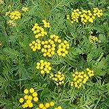 Tansy, Tanacetun Vulgare, Medicinal Seeds, 100 Seeds per Pack, Organic, Heirloom, GMO Free