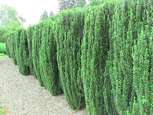 TEN plants Japanese Sky 'Pencil Holly'