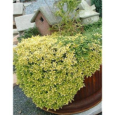 Oregano, Golden Aurea Live Plants USDA Certified Organic 2 ½ in. Pots : Garden & Outdoor