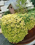 Oregano, Golden Aurea Live Plants USDA Certified Organic 2 ½ in. Pots