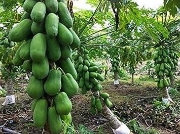 HOT!! 15 Seeds Red Lady Papaya Seed Very Sweet Flesh 100/% Original