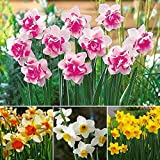 Portal Cool 400 Pcs/Bag Double Narcissus Bulbs Pastel Mixed Daffodil Perennial Flower Seeds