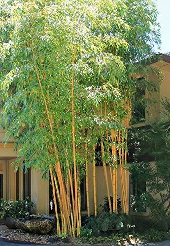 Hybrid Rare Bamboo Plant for Home Garden: Amazon.in: Garden & Outdoors