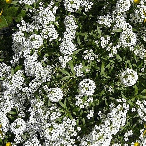 Alyssum Carpet - Everwilde Farms - 2000 Carpet of Snow Sweet Alyssum Wildflower Seeds - Gold Vault Jumbo Seed Packet