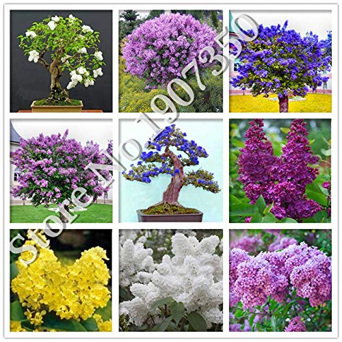 Lilac Bulb - 100 Pcs/Bag Bonsai Lilac Flower Japanese Lilac (Extremely Fragrant) Clove Flower Tree Lilac Trees Outdoor Plant for Home